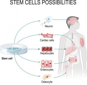 Stem cells possibilities. These cells can become any tissue in the body. Internal organs in the background of a male figure and a human cell (gepatocytes, osteocyte, cardiac, enterocytes, neuron).